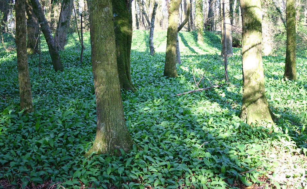 WildGarlic1