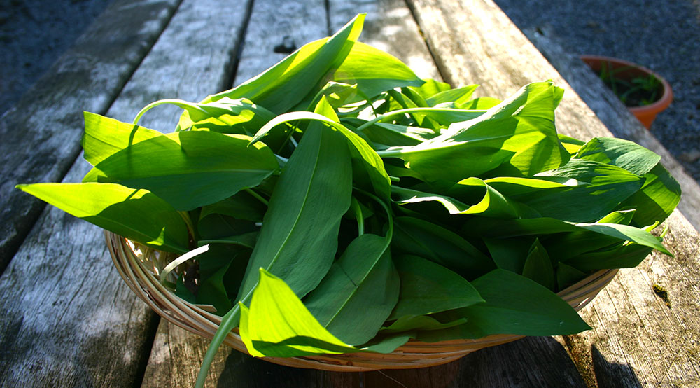 WildGarlic2